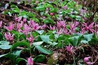 カタクリの花 咲くイメージ