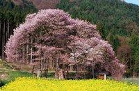 樹齢400年!イメージ